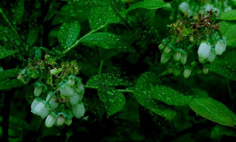 院子里蓝莓花