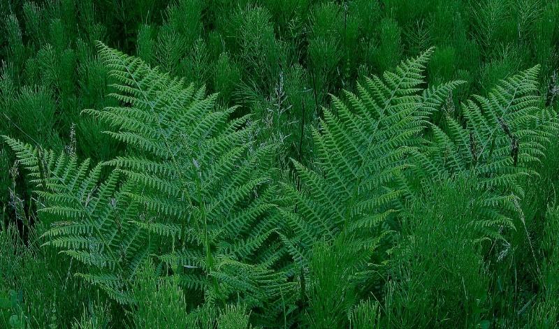 林子里的蕨草...