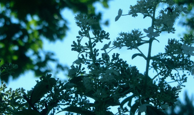 南亚人院子里,有优雅的中国荚�o花