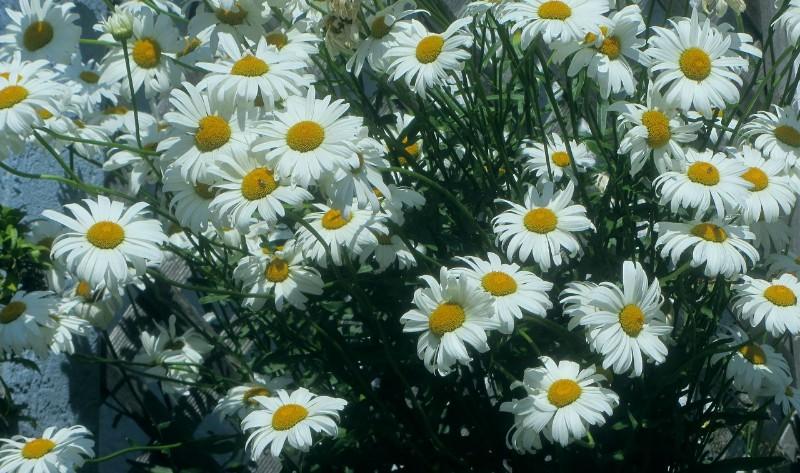 到处法兰西白菊花