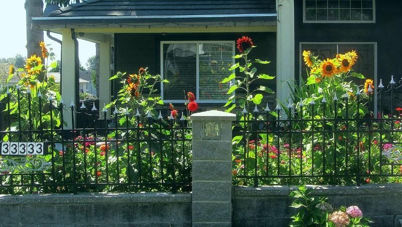 他的院落里,有一片大气明亮的向日葵