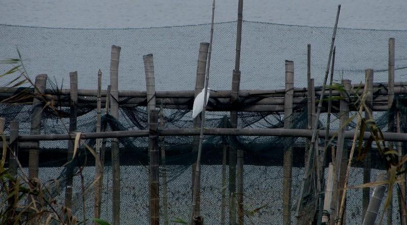 渔�f外面,一只小白鹭,守候期待着...