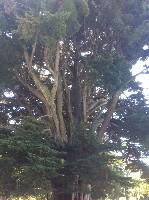 无皮的古老巨大的尤加利树